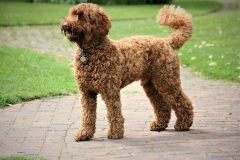 Dog breeds for people with allergies